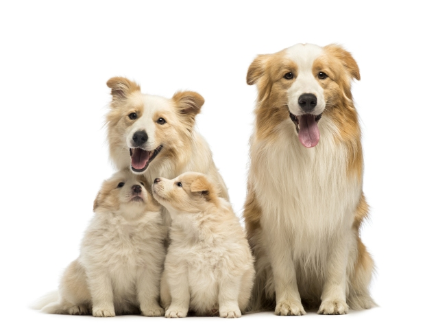 bigstock-Border-collie-family-father--42963064