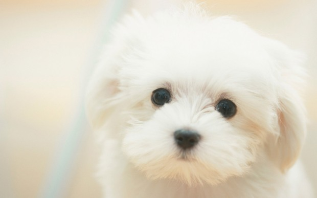 White-Dog-HD-Wallpapers-14