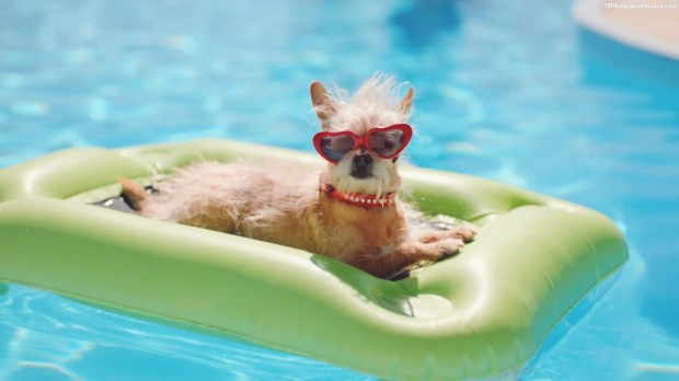 Dog-In-Swimming-Pool-Wearing-Sunglasses-Images