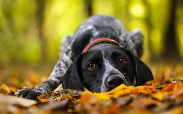 dog-lying-down-on-autumn-leaves-600x375
